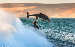 Dolphins Out Perform Surfer