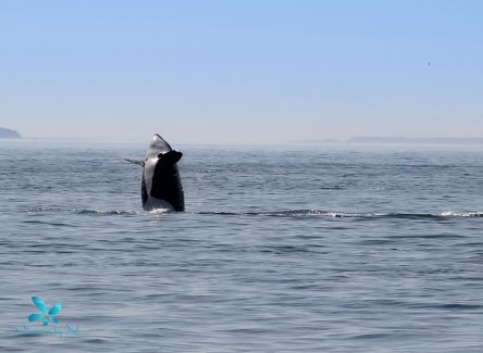 2015-08-OrcasPugetSound-0029-4
