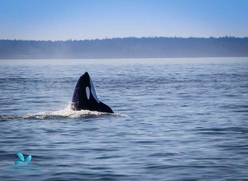 2015-08-OrcasPugetSound-0039-4