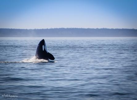 2015-08-OrcasPugetSound-0038-3