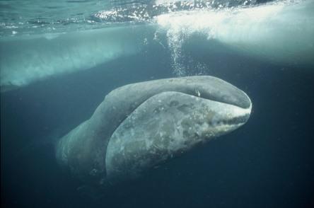 Bowhead whale, Arctic