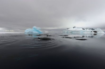 antarctic minke 3