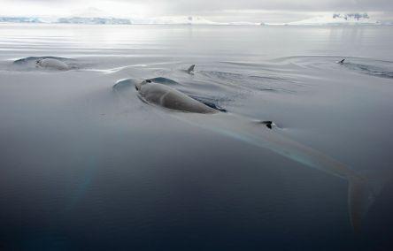 antarctic minke